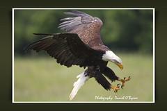 Claws (danob2) Tags: birds eagle daniel flight bald thegalaxy obyrne naturethroughthelens ringexcellence dblringexcellence freedomtosoarlevel2birdphotosonly
