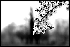 Sit in reverie, and watch the changing color of the waves that break upon the idle seashore of the mind  Henry Wadsworth Longfellow ( fotodisignorina  Felicia Violi PHOTOGRAPHY) Tags: blackandwhite bw tree digital canon photography eos reflex dof blossom bokeh blossoming bud dep sping brench henrywadsworthlongfellow