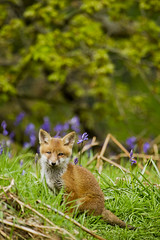 Young Fox (Andrew Goldstraw) Tags: wood blue trees orange baby colour nature animal bluebells canon woodland cub spring woods bell young andrew crewe fox 7d hunter bluebell 100400mm coppice nantwich foxcub shavington canon7d goldstraw andrewgoldstraw