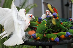 Crowd at the buffet (marj k) Tags: rainbowlorikeet trichoglossushaematodus longbilledcorella cacatuatenuirostris psittacidae 0381