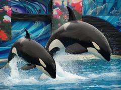 Orkid and Kalia (~Sumarsea~) Tags: sandiego dolphin dolphins seaworld shamu killerwhale sumar nakai seaworldsandiego keet swc ulises dolphinshow corky2 seaworldcalifornia swc42112 bluehorizionsandiego orkidthekillerwhale kaliathekillerwhale kasatkathekillerwhale