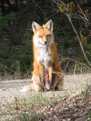 The stand off - or should I say sit off? (fyrrylikka) Tags: may cottagecountry driveway fox 2012