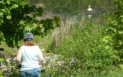 Sandy and a Swan (blazer8696) Tags: railroad orange usa ny newyork bird heritage swan unitedstates rail trail monroe erie mute muteswan cygnusolor railtrail ecw oht cygnus anatidae anseriformes olor dscn1227 furandfeathers rte208 anseriformesanatidae t2012 rte17m