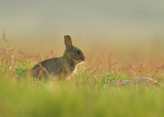 European rabbit baby