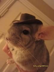 Pedro the Cowboy! (tofu catgirl) Tags  hat dressedup chinchilla cooldude  img0995 6e63f536700