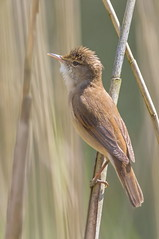 IMG_0090 Reed Warbler (Acrocephalus scirpaceus), Brandon Marsh, Warwickshire 22May12 (Lathers) Tags: brandon warwickshire reedwarbler acrocephalusscirpaceus nbw brandonmarsh canon7d wildinthemidlands wkwt 22may12