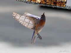 DSC_6539 w16-800 (rjccski) Tags: bird nature animal nikon feather dslr d3100