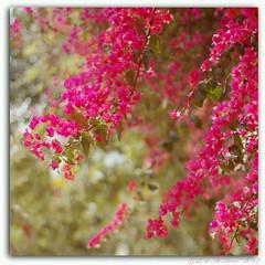 swishing and swaying (~SilpaS GLH~) Tags: pink woman india art canon spring photographer bokeh wallart bougainvillea paintinglike northindia sqaureformat wallpaperart eos7d glasslighthues gettyimagesindiaq4 glhartdecor astheyswishedandswayedaboutinthewind floralprofusion