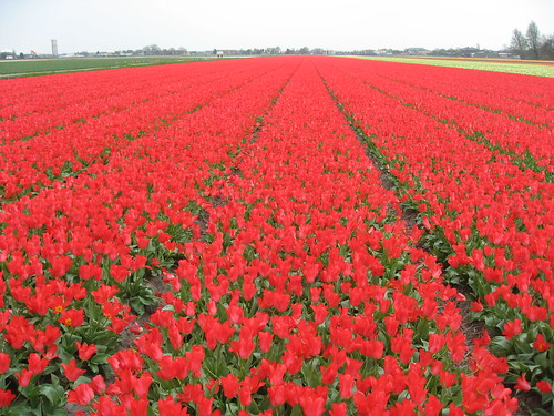 Tulip Field in front of Keukenhof