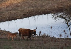 Heck Cattle / Heck Rind (Baubo Bittern) Tags: badenwürttemberg heckrind heckcattle hepbachleimbacherried raderach