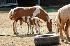 Miniature Horse Dam & Foal (AnnRan5) Tags: horse miniature mini foal