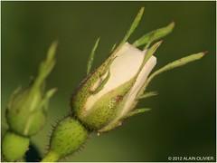 Bientôt une rose