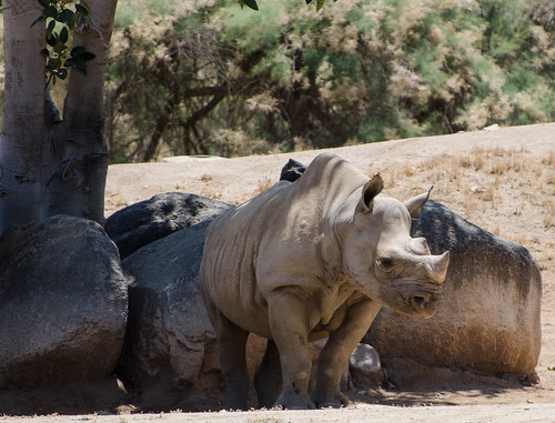 Black Rhino by pdpolena, on Flickr