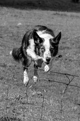 at play (for ODC) (devonteg) Tags: june moss jumping nikon agility bordercollie atplay 2012 exmoor odc d7000 ourdailychallenge dickyspath nikkor105f28mmgvrmicro