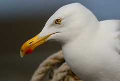 "Hering Gull ~ (Christine Fusco ~ ""Jersey Strong"") Tags: portrait nature nj pointpleasant bllue heiringgull"