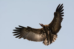 Hooded Vulture in flight with wings in a wide curve (Dave Montreuil) Tags: africa bird strange out spread flying wings legs flight down sharp landing ugly westafrica gambia senegal vulture soaring slowly curved wingspan bif wideopen necrosyrtes manachus