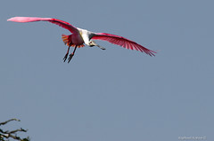 Incoming Spoonbil (RKop) Tags: a550 staugustinrookery sony70300gssm handheld archive roseatespoonbill raphaelkopanphotography sony wildlife