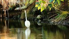 Great Egret pond fishing (Jim Mullhaupt) Tags: wallpaper white lake bird palms pond flickr florida jungle egret bradenton greategret freshwater wader mullhaupt jimmullhaupt