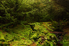 Green Cave (stephenb19) Tags: wood uk trees summer plant tree green nature water grass leaves rain pine forest puddle scotland leaf moss spring woods branch britain branches fungi bark stump fir trunk grotto lichen lime needles larch herbal damp stranraer undergrowth