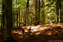 Strange encounters (Crupi Giorgio (official)) Tags: wood trees light italy art nature alberi canon wolf italia arte sigma natura trento luce wolves trentino bosco lupi sigma1020 canoneos7d