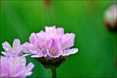 Pink flower (franciska_bosnjak) Tags: pink flower drops waterdrops