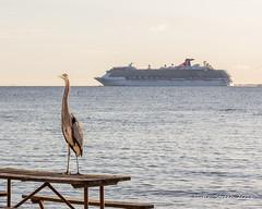 Sandy Point Heron (strjustin) Tags: carnival beach heron beautiful birds canon boats maryland cruiseship sandypoint canon60d