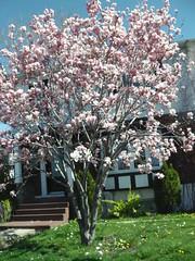 ** Au cours de mes promenades...** - 11 (Impatience_1) Tags: flower tree fleur spring may m mai magnolia arbre printemps impatience floweringtree coth supershot arbreenfleurs abigfave saveearth citrit alittlebeauty sunrays5