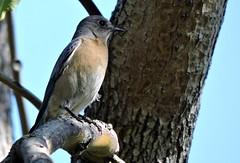 Western Bluebird (mooreskyler242) Tags: bluebird balboapark sandiegoca westernbluebird