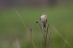 Grasshopper Sparrow (Ammodramus savannarum) (Mark Herse) Tags: male canon spring singing breeding 7d kansas prairie grassland tallgrass territory grasshoppersparrow ammodramussavannarum
