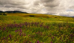 As far as the eye can see... (Alvin Harp) Tags: flowers nature grass clouds oregon landscape spring may windy rollinghills stormclouds 2016 naturesbeauty teamsony sonya7rii alvinharp