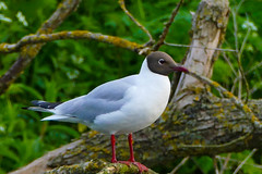 Black headed Gull (williams19031967) Tags: camera plant flower macro bird nature water field closeup river way fun lumix canal flying swan bright outdoor wildlife seagull gull low flight scenic down panasonic daisy serene depth wellingborough landsacpe fz200 fz1000