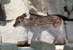 baby deer (* Yumi *) Tags: baby animal zoo deer