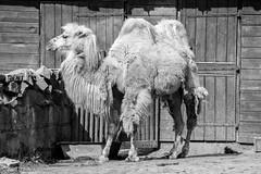 Having the hump (Theunis Viljoen LRPS) Tags: zoo poland krakow camel