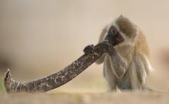 Vervet Monkey - Beach Boy - (Wouter's Wildlife Photography) Tags: beach nature animal fruit mammal monkey kenya eating wildlife explore flametree vervetmonkey chlorocebuspygerythrus