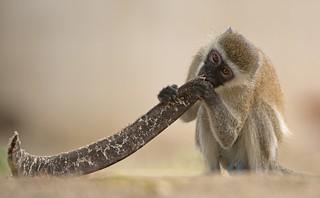 Vervet Monkey - Beach Boy -