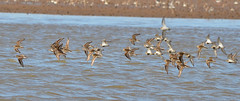 Follow the leader (Barry MacDonald 52) Tags: birds flying waders dunlin