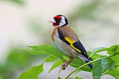 Goldfinch 50128 (wildlifetog) Tags: uk wild bird nature birds canon european martin wildlife goldfinch feathers isleofwight pajaro blackmore plumage loiseau eos7dmkii mbiow