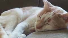 178/365 (agirlnamednee) Tags: fauna cat leon 365