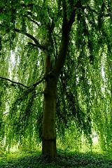 Buche in Hiltrup - 2016 - 0003_Web (berni.radke) Tags: tree giant baum beech mnster buche colossus riese hiltrup