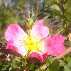 I colori della primavera (Luciana.Luciana) Tags: flowers primavera spring colours rosa fiori colori printemps frhling   rosaselvatica