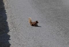 Red squirrel (a-r-a-55) Tags: animals scotland tiere eichhrnchen schottland redsquirrel glenlyon bridgeofbalgie grosbritannien