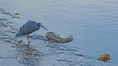 Egretta novaehollandiae (Tony Markham) Tags: bird native harbour australia northbeach wollongong whitefacedheron illawarra australianbird nativebird egrettanovaehollandiae wollongongharbour