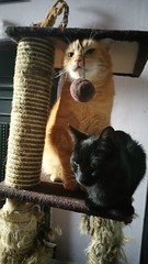 Taz and Leeloo enjoying their cat tree.... (julzz2) Tags: cats pets animal animals mycats felines cutecats funnycats gingercats pussycats animalfaces catlovers catsfaces felinefaces petsfaces blackcatsfaces