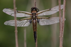 160529 Four Spotted Chaser Alderfen Broad 2 (Miles Attenborough) Tags: four spotted broad chaser alderfen