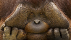 1286387 (pakimug) Tags: portraits hands humorous sad faces fingers expressions thoughtful orangutan males curious endangered closeups egi mammals primates greatapes
