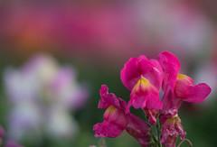 TAIR-11A bokeh (OzzRod) Tags: flowers macro pentax bokeh snapdragon extensiontube gregson k50 tair11a135mmf28