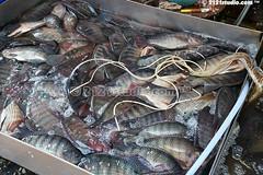 Life Fresh Water Fish Stock (2121studio) Tags: thailand bangkok siam travelphotography amazingthailand  travelinthailand khlongtoeymarket khlongtoeimarket  landoftiger landofwhiteelephant thaitourinformation