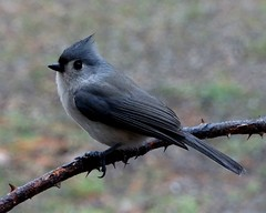 Tufted Titmouse (baedlophus bicolor) (Gerald Barnett) Tags: blue usa bird art nature beautiful beauty birds closeup outdoors grey illinois peace bokeh availablelight ambientlight wildlife birding gray feathers peaceful atmosphere naturallight aves calm pajaro inspirational upclose contemplative ornithology birdwatching oiseau avian vogel avis uccello wildanimals bluegray naturalcolors southernillinois wildbirds northamericanbirds wildlifephotography naturalcolor northamericanwildlife birdcloseup birdsasart worldbirds birdsofnorthamerica illinoiswildlife illinoisbirds birdsinnature