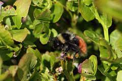 Bilberry Bumblebee (Chris B@rlow) Tags: macro nature closeup canon insect outdoors wildlife lakedistrict bee bumblebee cumbria bombus uknature irtonfell canon7d bombusmonticola bilberrybumblebee