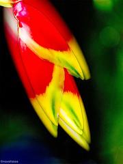 Hngende Hummerschere (novofotoo) Tags: natur pflanzen reise botanischergarten heliconiarostrata motiv mehrfachbelichtung helikoniengewchse hngendehummerschere